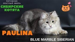 Siberian kitten,  name - Paulina Znatniy Zver