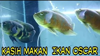 Oscar Fish Predator Ulat Hongkong Untuk Makan Ikan Oscar Youtube