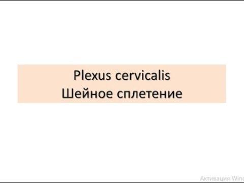 Plexus cervicalis. Шейное сплетение