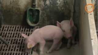 Bebederos para porcino (Cazoletas) EUROGAN / Pig drinkers EUROGAN