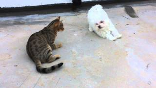 Puppy Maltese And Cat Playing