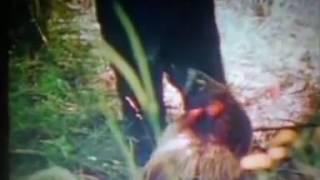 Black Bear v Wolverine / Росомаха дает люлей Барибалу:)