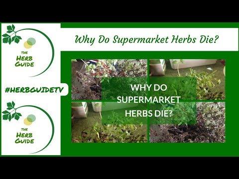 Why Do Supermarket Herbs Die?