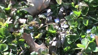 2/17/2012 -- Honey Bees and flowers in winter -- SOMETHING IS VERY WRONG -- St. Louis Missouri