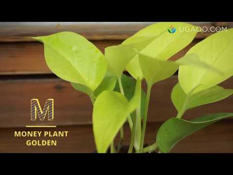 Bring Abundance Into Your Life With The Money Plant (Golden)