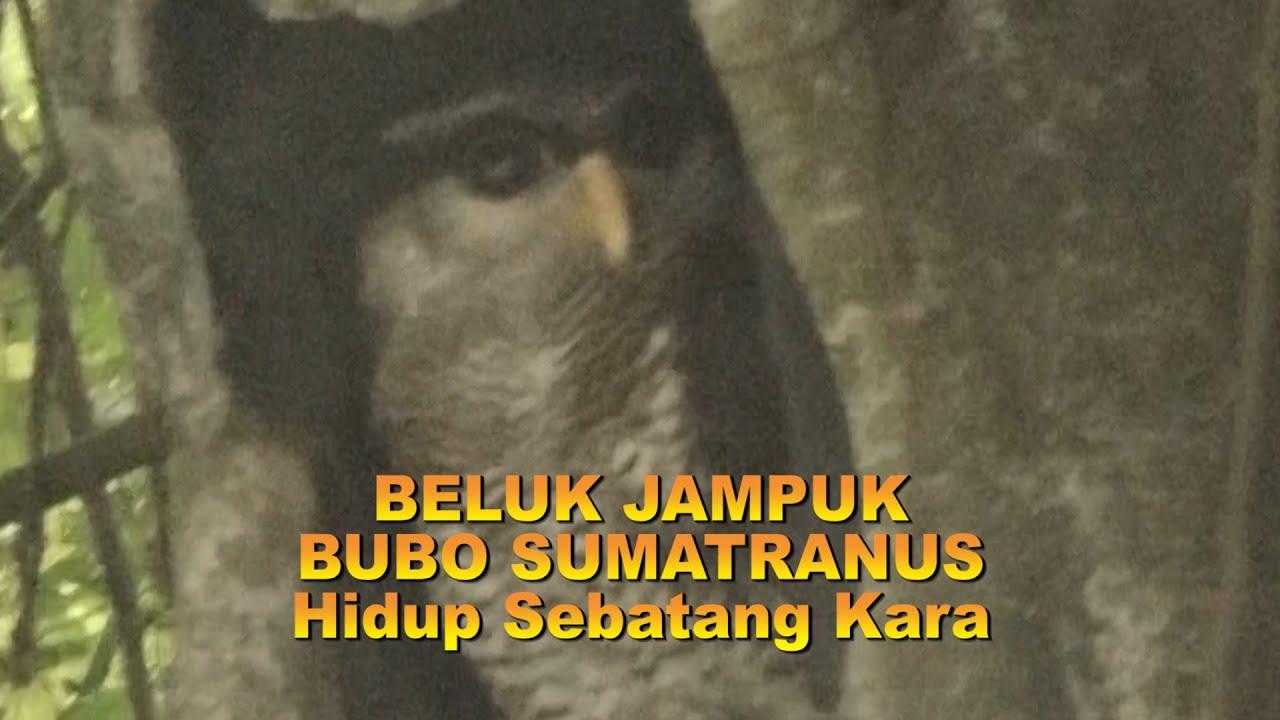 Beluk Jampuk Hidup Sebatang Kara Bubo Sumatranus Si Burung Hantu Youtube