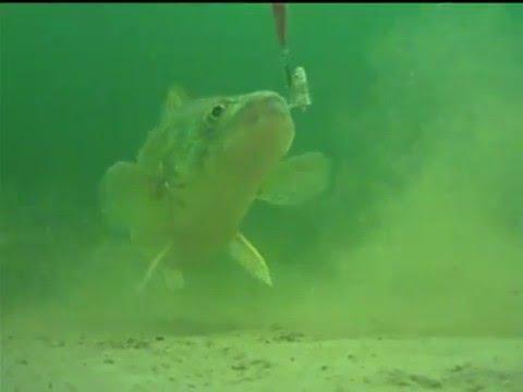 Saginaw Bay Walleye - Underwater Video Camera 2/21/15 ...  Saginaw Bay Wal...