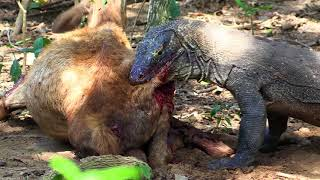 Komodo dragons attack and eat alive deer