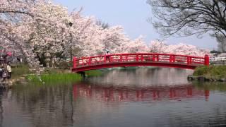 日本さくら名所百選 須坂市の臥竜公園・4K撮影