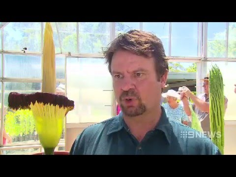 Corpse Flower Blooms | 9 News Adelaide