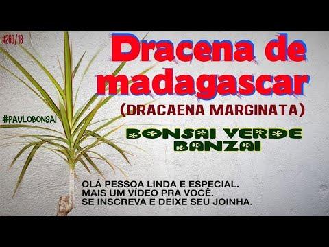 COMO PLANTAR E MULTIPLICAR A DRACENA DE MADAGASCAR(Dracaena marginata).