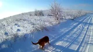 Возвращение блудного зайца! Охота с гончими на лису!