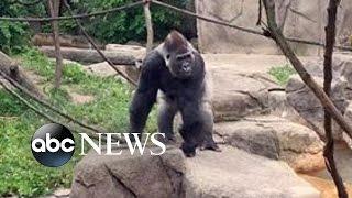Gorilla Attack | Frantic 911 Calls Released