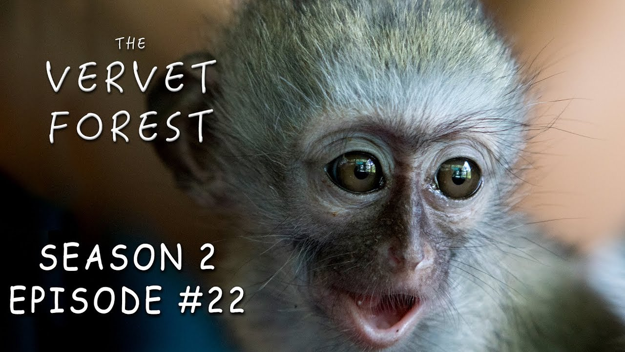 Baby Monkey Killed By Troop Vera Finally Settles In Vervet Forest S2 Ep22 Youtube