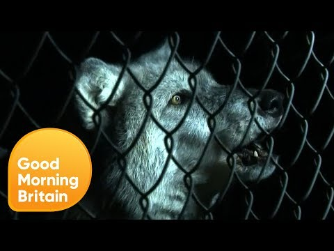 Should Wolves Be Reintroduced Into the British Countryside? | Good Morning Britain