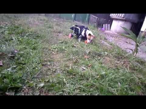 Парализованная собака на инвалидной коляске приносит мячик. Вот это стремление радоватся жизни!
