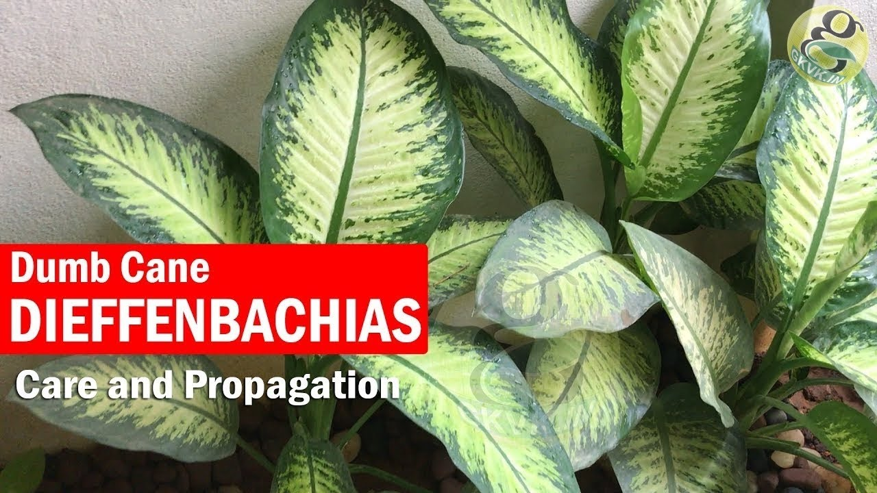 How to Propagate from Cane Cuttings How to Propagate from Cane Cuttings new pictures
