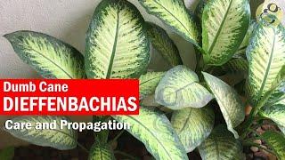 Dieffenbachia plant care and Propagation - Dumb Cane Plant   Dieffenbachia Cuttings / Stub cuttings