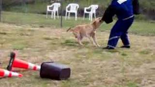 Could A Labrador Retriever Be A Protection Dog?