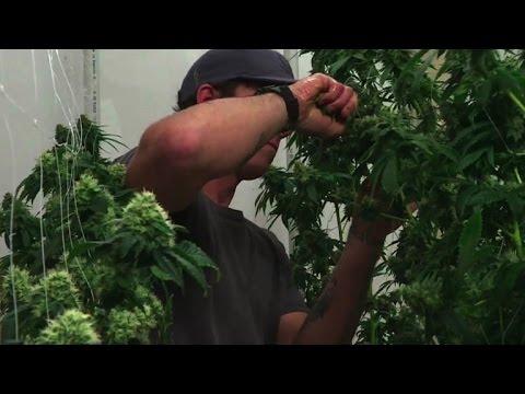 Le marché du cannabis fleurit, malgré l