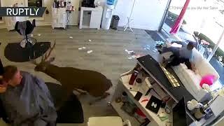 В США олень ворвался в парикмахерскую — видео