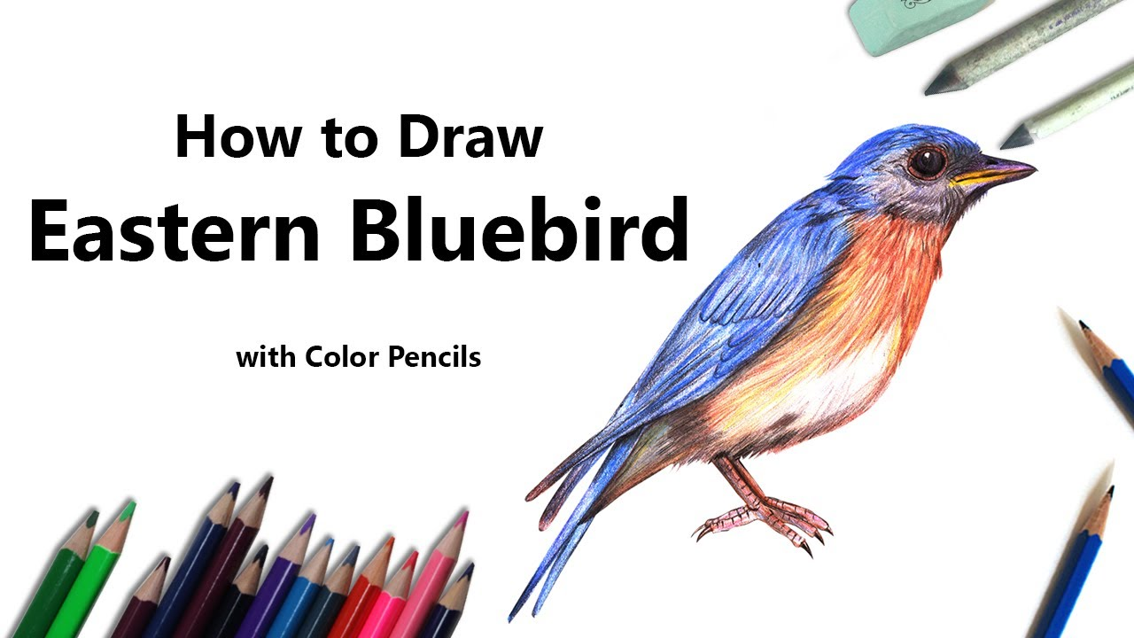how to draw a eastern bluebird with color pencils time lapse