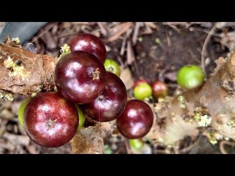 Anggur Brazil berbuah lebat dalam bag 50 liter