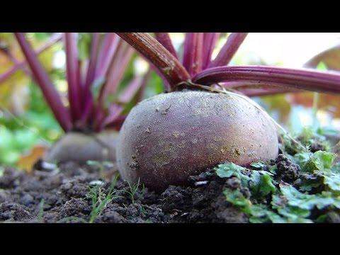 Посев свеклы под зиму | подзимние | столовая | осенние | семена | свеклы | свекла | посевы | семян | посев | зиму