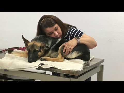 Chapter 3! A Girl and Her Dog.  Bindi Got Sick!!  OsteoMyelitis! German Shepherd Puppy