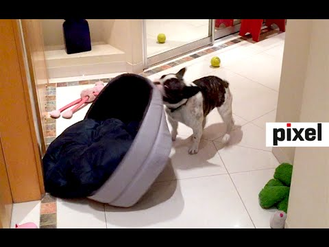 French bulldog Pixel gets a new bed