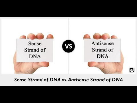 Difference Between Sense Strand And Antisense Strand Of Dna Youtube