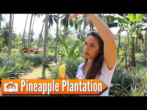 Sri Lanka 23: PINEAPPLE PLANTATION