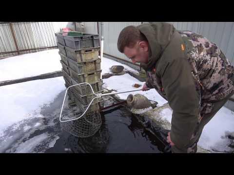 Видео: Весенняя кормёжка осетров