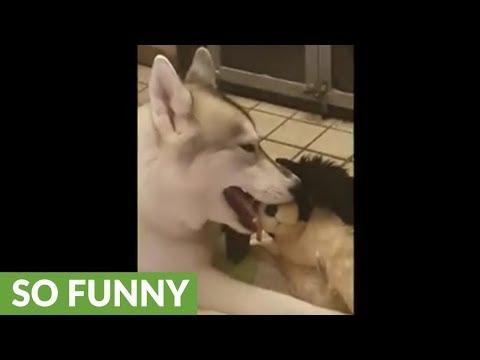 Husky whispers secrets into stuffed animal's ear