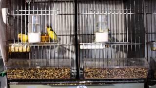 Destete de los canarios a los 25-30 días de vida