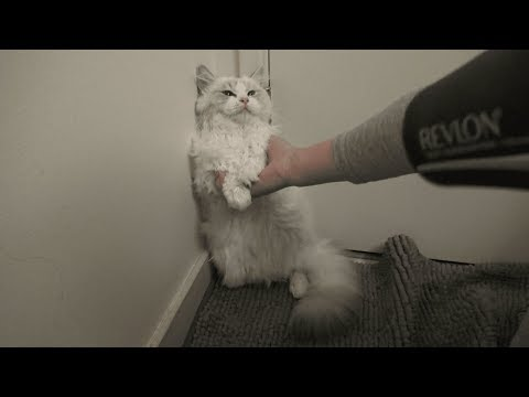 Ragdoll Kitten Takes a Shower!