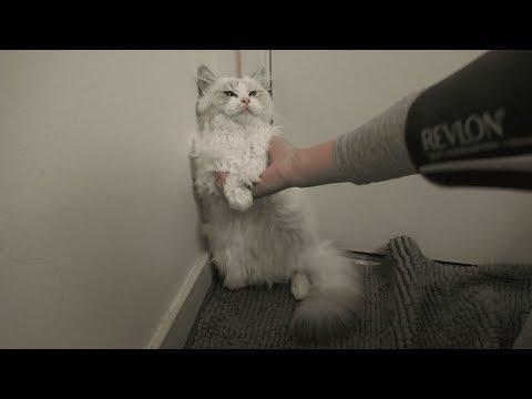 Ragdoll Kitten Takes A Shower!