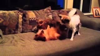 Papillon, Pomeranian And Yorkie-pom Playing