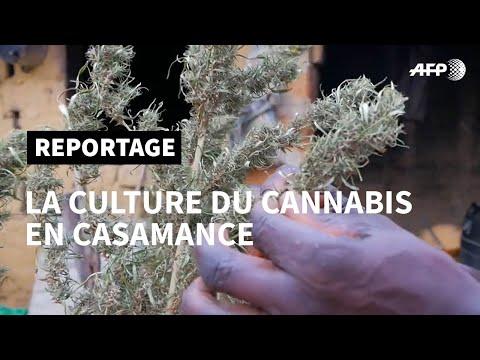 Le cannabis, pain bénit d'un coin reculé du Sénégal | AFP Reportage