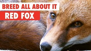 Breed All About It: Red Fox