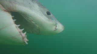Great White shark caught and released off Hilton Head, SC