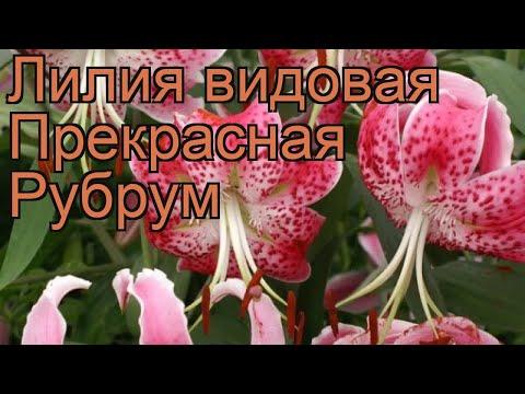 Лилия видовая Прекрасная Рубрум (lilium) 🌿 обзор: как сажать, луковицы лилии Прекрасная Рубрум