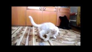 Catarina, 3.1months. Купить котёнка мейн кун Видео