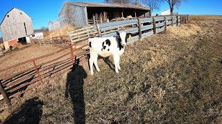 who-let-the-calf-out