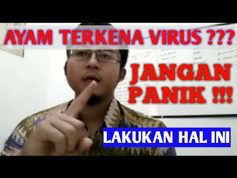 Ayam terkena virus??? Jangan panik!!! Lakukan hal ini...
