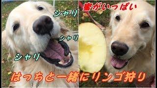 はっちの奮闘記http://mebarukasago.fc2.com/ りんご狩りの場所で頂くり...