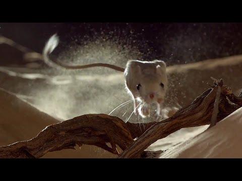 Desert Fox Hunts A Lesser Jerboa - Wild Arabia - BBC