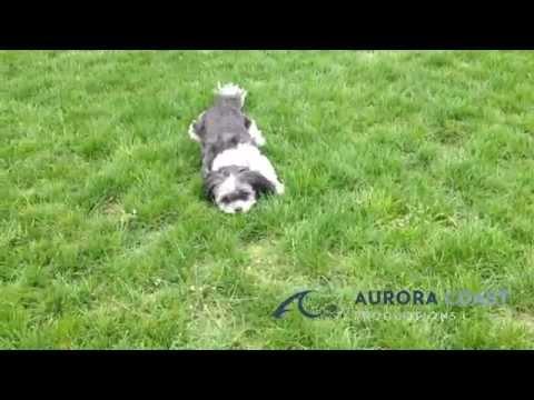 Cutest Shih Tzu Puppy Running In Circles