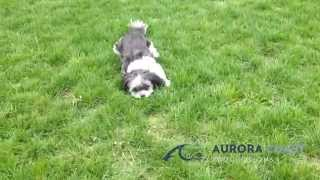 Cutest Shih Tzu Puppy Running In Circles