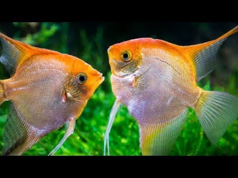 11 Different Types Of Freshwater Angelfish By Color Variations